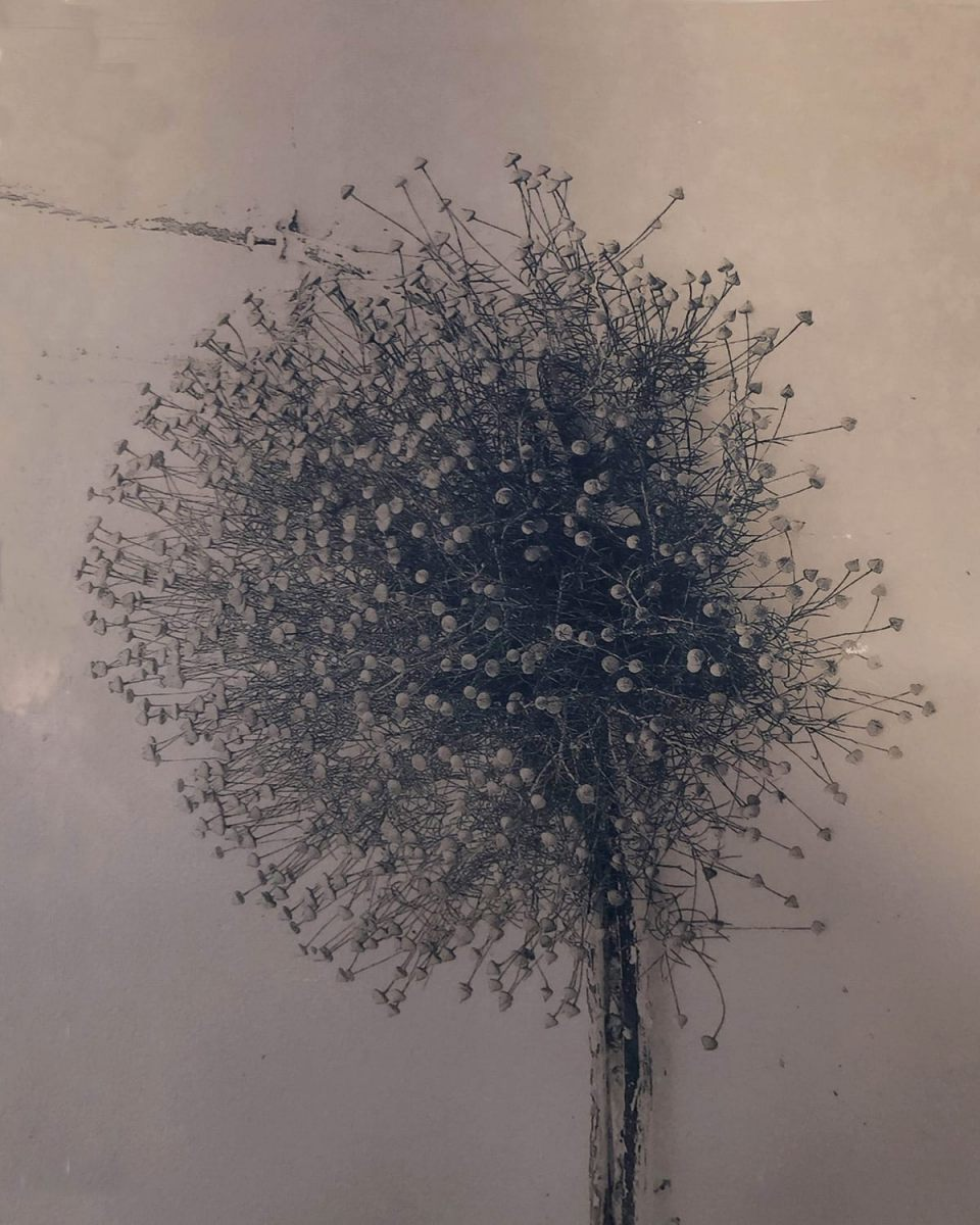 """Onion Flower,"" 2018–2019, Toned Cyanotype"