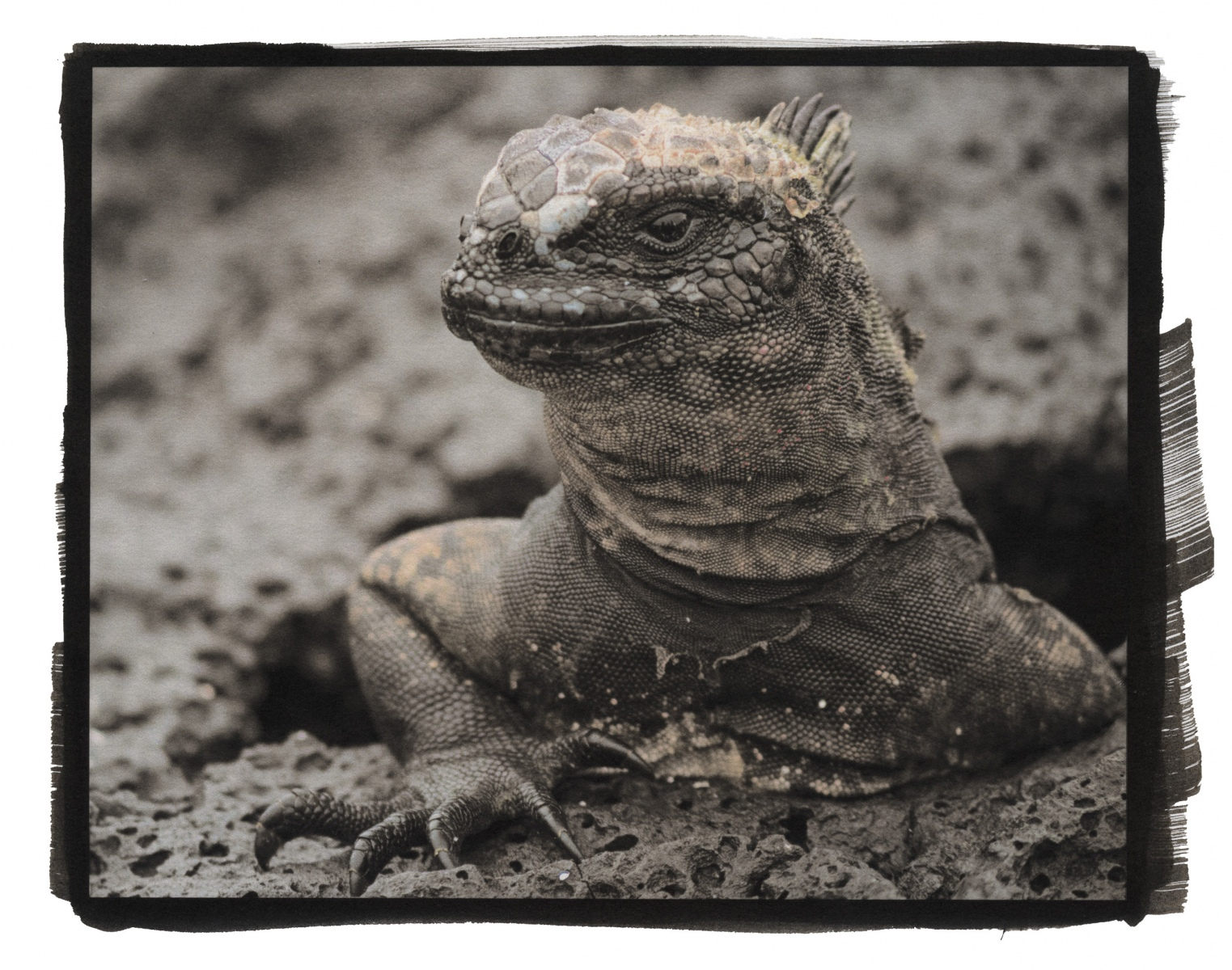 """Land Iguana, The Galápagos\"""