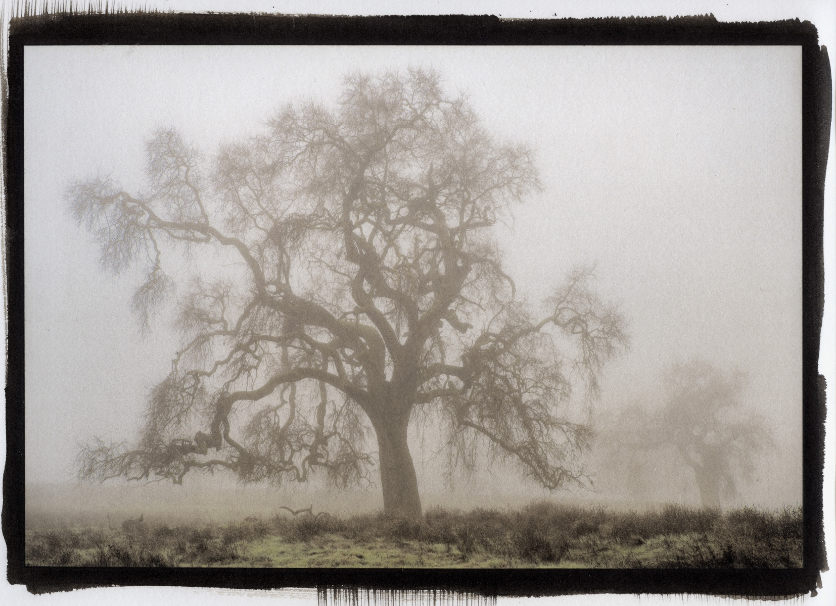 """Oaks in Fog, Folsom\"""