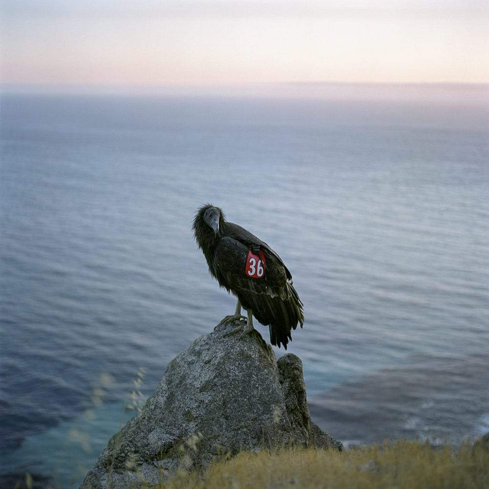 """Condor 36, Big Sur, CA"" Photo © Lucy Goodhart 