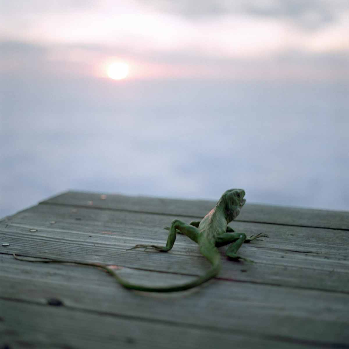 """Lizard at Sunset, Big Sur, CA"" Photo © Lucy Goodhart 