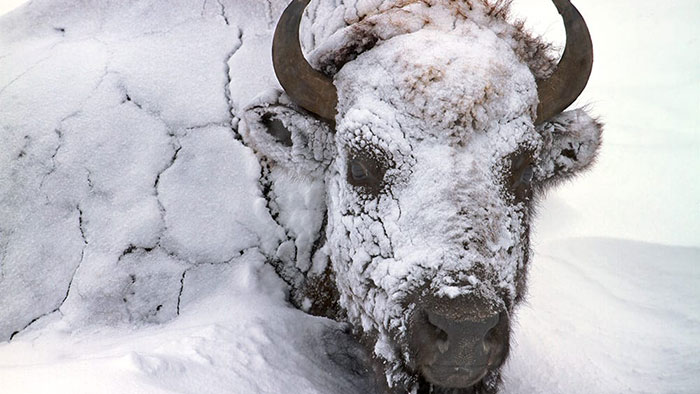 Bison covered in frost and snow, Yellowstone National Park, Wyoming.