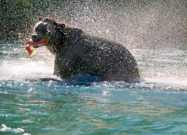 Grizzly with Salmon © Mary D'Agostino nature & landscape photographer