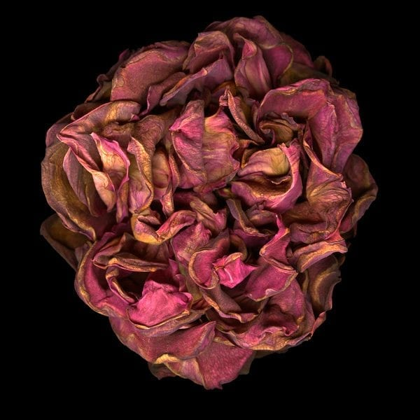 Big Red, Jay Ruland, Withering Roses, exploration of age and age issues, pictures of flowers, flower photography